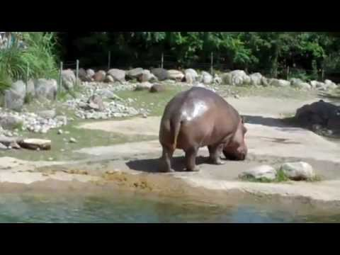 Hippo Explosive Diarrhea Hippo Butt Explosion[H...
