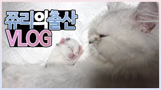 Video 고양이의 생생한 출산영상!  고양이 출산을 앞둔 집사가 알아야 할 꿀팁들  -쮸리가 새끼를 낳았어요- MP3, 3GP, MP4, WEBM, AVI, FLV Agustus 2018