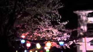 桜だより(5)小弓の庄夜桜
