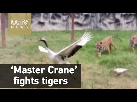 看過這段一鶴鬥二虎的影片,你知道為什麼少林功夫中有虎鶴雙形了!