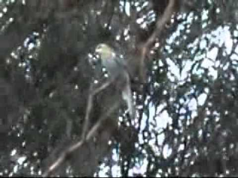 Pale Head Rosella compilation