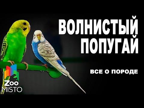 Волнистый попугай - Все о породе
