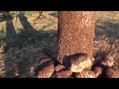 Επιδρομή ακρίδων στη Σαρδηνία