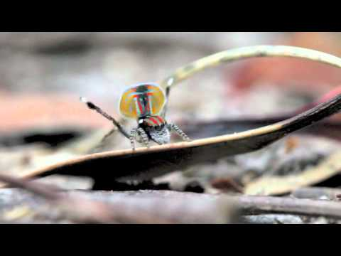 Spider - Courtship of peacock spider Maratus volans from Australia, one of the most amazing spectacles in the animal world, filmed, edited and narrated by myself (Jur...