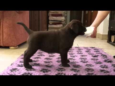 labrador puppy - chocolate girl 1