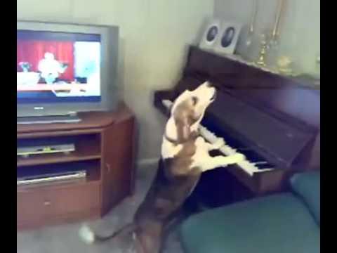 [Video] - Vãi - Chó vừa đàn vừa hát hay hơn Justin Bieber