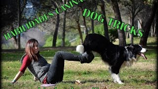 Habilidades caninas border collie