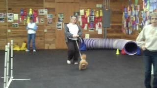 Bichon Frise Poodle Training Agility Beginner #1