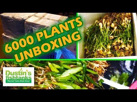 UNBOXING 6000 Africa Aquarium Plants Bolbitus, Anubias, Red Tiger Lotus, CRINUM_Akvárium