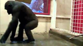 Смешной обезьян поёт и танцует