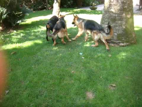 german shepherd vs doberman