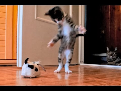 Un gattino impazzisce per un cane robot