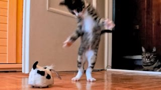 Kitten Versus Robotic Dog & Adult Cat - YouTube