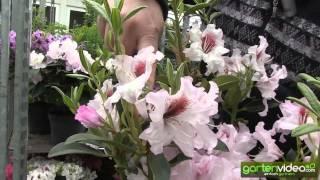 #1141 Rhododendron Hybride Graffito