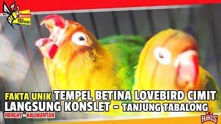 KINGS CUP 1 : Point 1.740 ? Di Tempel Betina LOVEBIRD CIMIT Langsung KONSLET Dari TANJUNG TABALONG