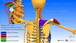 Anatomie 3D Myologie :élévation Latérale Du Bras Dans La Plan De La Scapula