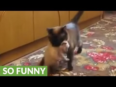 Mother cat snatches crying kitten from toddler