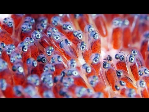 Clownfish Eggs - The Real Finding Nemo