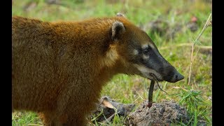 Caracara And Coati Fight Over Lungfish Feast - Wild Brazil - BBC Earth