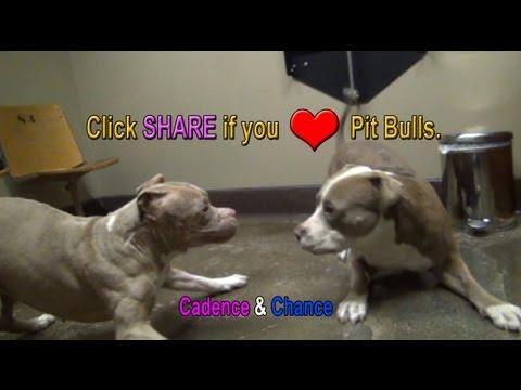 due pitbull e un solo amore