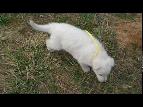 Crescent Moons Mr. Citrus Twist White Male Puppy
