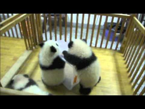 cuddly - The prequel to Escaping Baby Pandas, from the Chengdu Panda Breeding Center. To use this video in a commercial player, advertising or in broadcasts, please e...