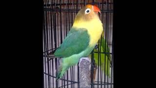 Video Pancingan lovebird ngetik panjang merangsang lovebird ngekek MP3, 3GP, MP4, WEBM, AVI, FLV Desember 2018