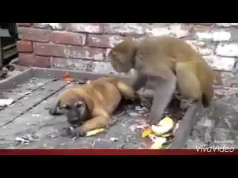 Video Monkey and dog Punjabi dubbed download in MP3, 3GP, MP4, WEBM, AVI, FLV January 2017