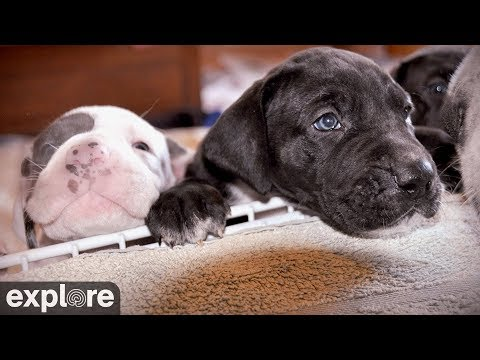 Hunde Welpen - Deutsche Doggen - Indoor Puppy Room