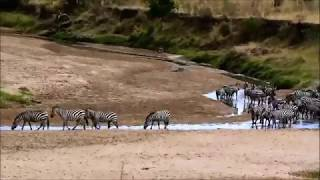 Zebra Escapes Lion Attack!! Masai Mara, Kenya!! Thrilling Experience!!