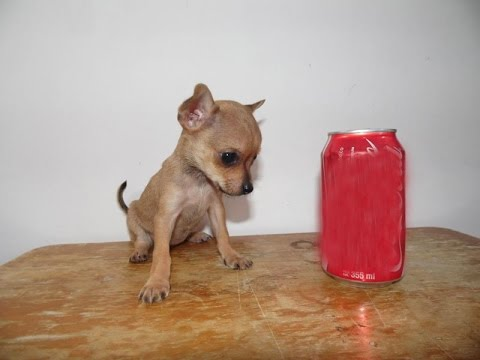 Teacup Chihuahua Puppy Female for sale