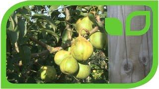 Die Birne Schweizerhose