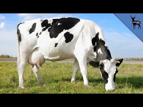 why - Find out how much milk cows are capable of producing and why we drink it in the first place! Check out Ross on The New Show! https://www.youtube.com/user/atthenewshow We're putting...