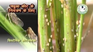 Video Insect and Pest Control in Paddy (धान में कीट और रोग नियंत्रण) MP3, 3GP, MP4, WEBM, AVI, FLV Juni 2018