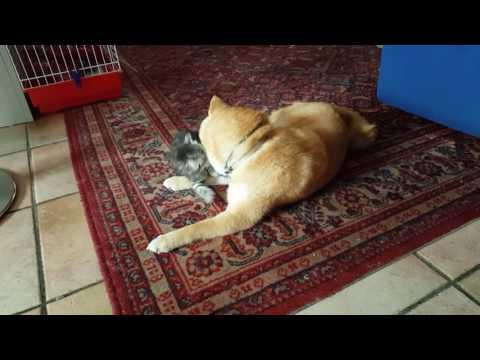 uno shiba inu che gioca con un gattino