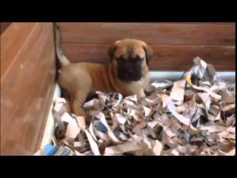 Vendita bullmastiff cuccioli disponibili