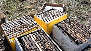 Como es la primera revisión y alimentación al final del Invierno. Manejo abejas Italianas y Buckfast