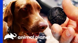 Ball Bearings Have Been In Dog's Stomach For 3 YEARS! | Dr. Jeff: Rocky Mountain Vet by Animal Planet
