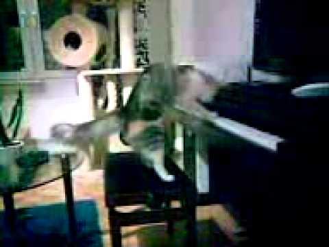Cesina-kissa soittaa pianoa