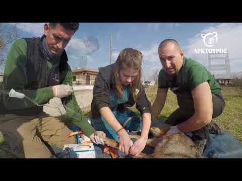 Video - Λύκαινα κρεμάστηκε σε καγκελόπορτα - Διάσωση από τον Αρκτούρο