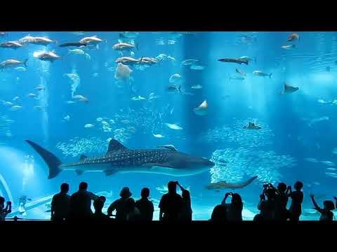 okinawa: l'acquario più grande dell'asia ripreso in questo video!
