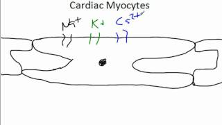 Cardiac Syncytium And Electrophysiology.wmv