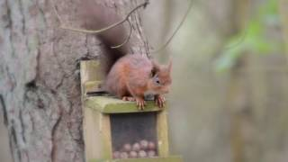 The Red Squirrels of Havannah Nature Reserve
