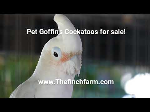 Goffin Cockatoo for sale! 2