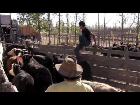 Cattle Roundup - San Rafael, Mendoza, Argentina