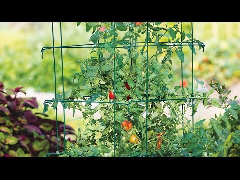 "Burpee Gardens<br />\n<br />\n<strong>Published on Dec 24, 2015</strong>\n\n<p id=""eow-description"">Growing the best tomato plants in your garden comes down to 1 key principle- keeping your plants off the ground. <br />\n<br />\nWe'll show you the best way to keep them off the ground and healthy.</p>"