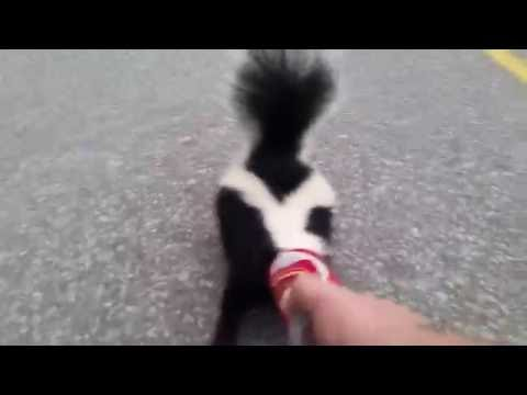 A Man Helps A Skunk