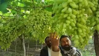 Grapes variety RK