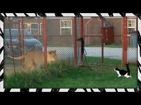 Gatita desafía a una leona