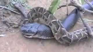 King Cobra vs Python - One Gets Eaten!!